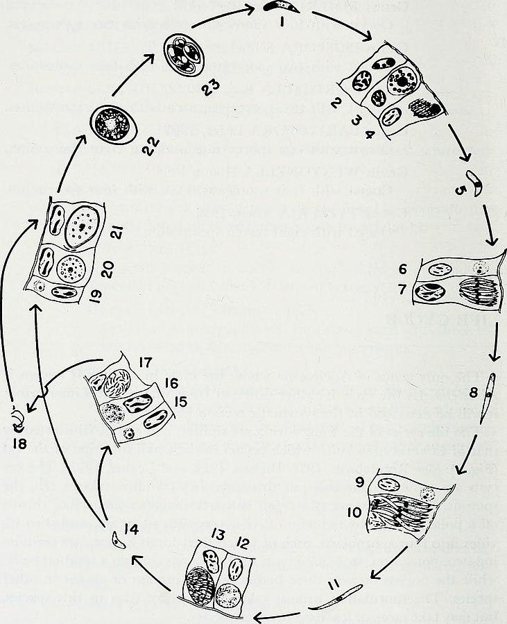 Ilustrace znázorňuje životní cyklus kokcidií.
